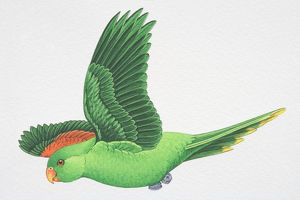 Red-winged or Crimson-winged Parrot (Aprosmictus erythropterus), green parrot with