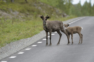 nature wildlife/anton luhr photography/reindeer rangifer tarandus young road northern