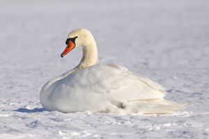 Resting Mute swan -Cygnus olor- in winter in snow