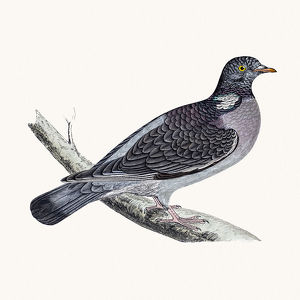 Ring dove bird