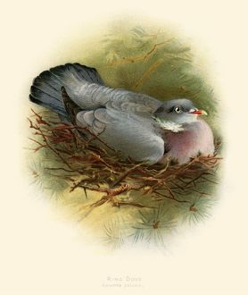 The ring pigeon illustration 1900