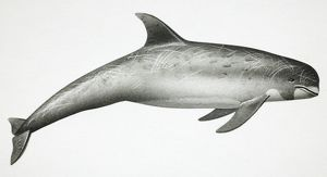 Risso's Dolphin, Grampus griseus, side view.