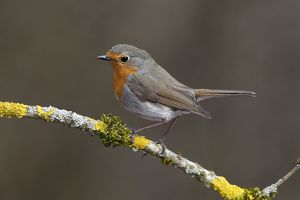 Robin -Erithacus rubecula- perched on a branch covered in lichen, Neunkirchen, Siegerland