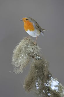 Robin -Erithacus rubecula- perched on a spruce branch covered in beard lichen, Swabian