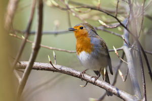 Robin -Erithacus rubecula-, singing perched on twig, Bavaria, Germany, Europe