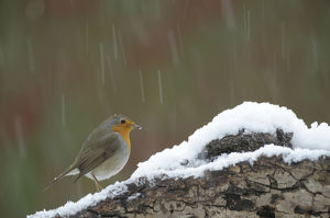 Robin -Erithacus rubecula- in snow
