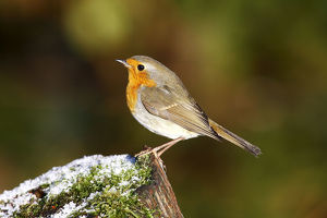 Robin -Erithacus rubecula- on a tree trunk in winter
