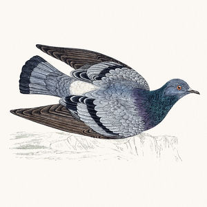 Rock dove bird