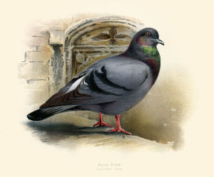The rock dove illustration 1900