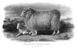 The Romney sheep engraving 1878