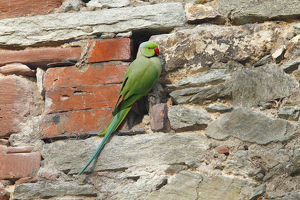 Rose-ringed Parakeet or Ring-necked Parakeet -Psittacula krameri- perched on a stone wall