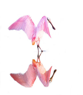 Roseate Spoonbill (Platalea ajaja) Dance and Reflection