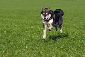 Running young Siberian Husky dog -Canis lupus familiaris- male, domestic dog
