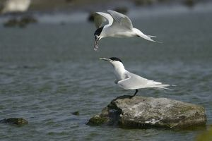 nature wildlife/anton luhr photography/sandwich tern sterna sandvicensis handing fish