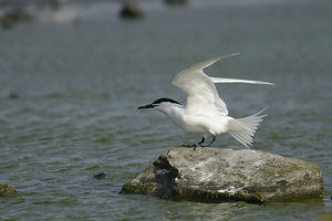 nature wildlife/anton luhr photography/sandwich tern sterna sandvicensis texel netherlands