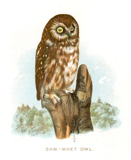 Saw-whet owl lithograph 1897