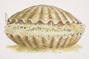 Scallop (aviculopecten), extinct species with closed shell, side view.