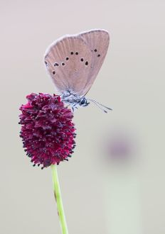 wilfried martin nature photography/scarce large blue phengaris teleius great burnet