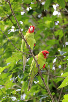 Scarlet-fronted Parakeets -Aratinga wagleri-, pair on tree, captive, native to South