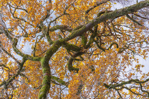 Scottish forest close up of branch in Autumn.