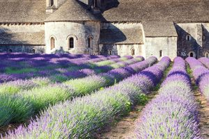 Senanque Sabbey Landscape with its lavender field, Provence