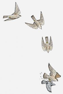 Series of illustrations showing Sparrowhawk (Accipiter nisus) diving and swooping