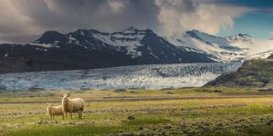 travel imagery/travel photographer collections coolbiere landscapes/sheep family glacier