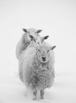 Three Sheep in a Line in the Snow