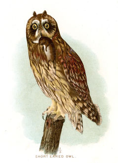 Short eared owl lithograph 1897