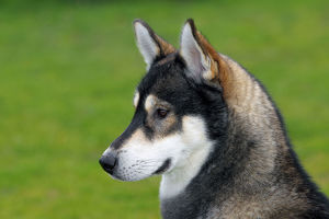 Siberian Husky -Canis lupus familiaris-, one year old male, portrait