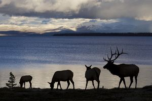 Silhouette of Rocky Mountain Elks (Cervus canadensis nelsoni) standing with rippled