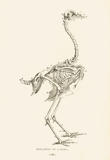 Skeleton of a fowl lithograph 1897