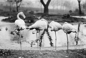 Sleeping Flamingoes
