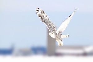 Snowy owl along a country road