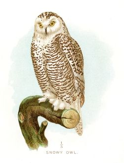 Snowy owl lithograph 1897