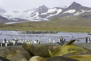 Southern elephant seals molting on beach in king penguin rookery