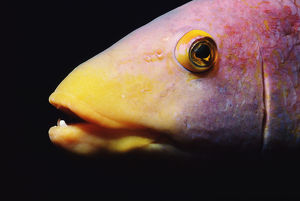 Spanish hogfish (Bodianus rufus), close-up