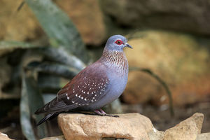 Speckled Pigeon -Columba guinea-, adult on rock, Simonstown, Western Cape, South Africa