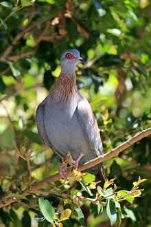 Speckled Pigeon -Columba guinea-, adult on tree, Simonstown, Western Cape, South Africa