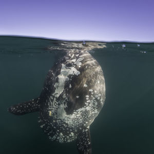 Split view of an ocean sunfish feeding at the surface, just outside Langebaan Harbour