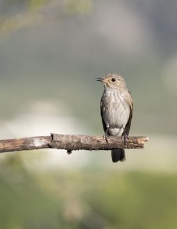 Spotted Flycatcher (Muscicapa striata), pair on branch . Spain