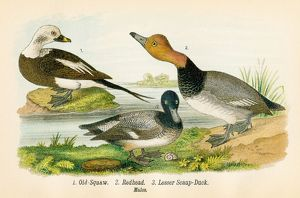 Squaw and duck bird lithograph 1890