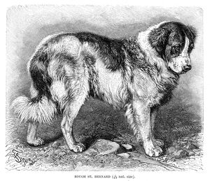 St. Bernard dog engraving 1894