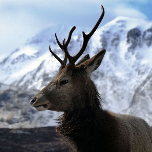 Stag at Glen Coe