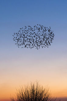 Starling murmurations over a Kent sunset sky, UK