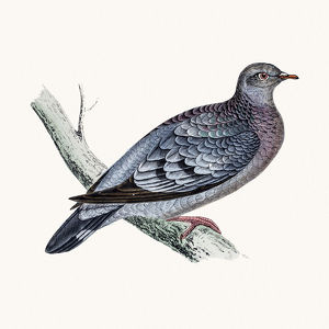 Stock dove bird