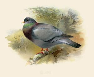 Stock dove illustration 1900