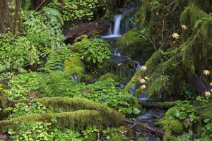 Stream in forest, Quinault, Quinault River Valley, Olympic National Park, Washington State