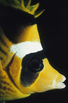Striped Butterflyfish