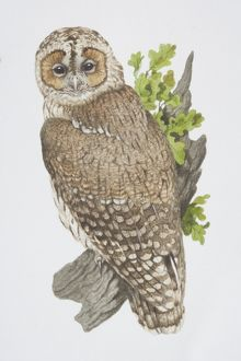 Strix aluco, Tawny Owl perched on tree branch.